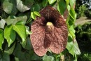 This flower grew on an ivy like plant and was about 20 cm across