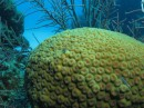 Brain coral at Glover