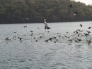pelicans and comorants, isla del ray