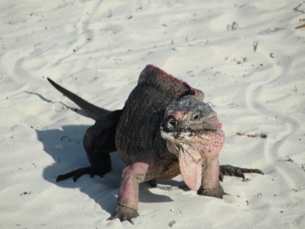 Allens Cay Iguana's