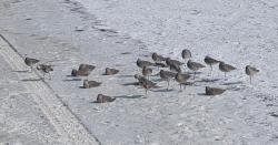 Sandpipers pocking about