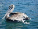 One of the many pelicans.