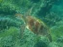Turtles are very common in Fiji and swom remarkably fast when scared