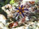 A new type of sea urchin we have never seen before