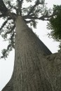 The Ceiba tree was considered by the Mayans to be sacred.  It