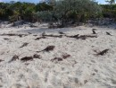 We counter over 40 iguanas on Allens Cay coming to beg for food.