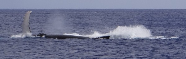 Whale blowing