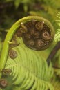 Tree fern unfolding