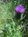 Thistle- even the weeds are pretty in NZ