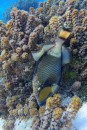 Triggerfish camouflage