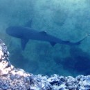 white-tipped shark in channel