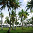 Manicured coconut grove