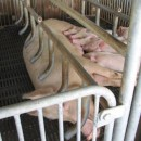 pigs at the Taiwanese aid farm