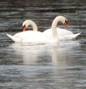 swans on Fisk Lake