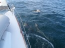 This pod of dolphins (about 30)..with a lot of calves, joined us for the ride in the current...
