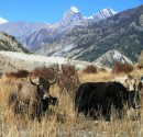 Tilicho peak with yaks - upper Manang valley
