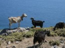 Dodecanese - Goats on Patmos