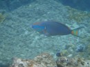 A parrot fish at the caves