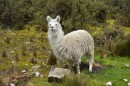 Wild Lama in the Andes