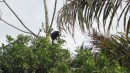 Howler Monkey - making a lot of noise!