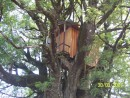 A treehouse in the oldest biggest tree on the Island of Cristobal
