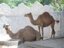 these camels have the most ridiculous lips!