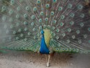 This gorgeous peacock must have had an 8 foot wing span but he was lame in his left foot - related?