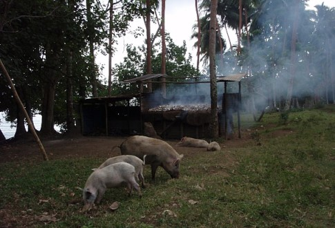 piggies rooting next to a copra drying hut