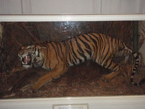 Unfortunately the Sultan also loves to shoot his tigers, one of a dozen preserved in his museum.