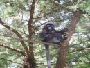 Dusky or Spectacled leaf monkeys keep to the trees, even eating bark and branches there.
