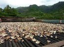 Drying copra, the meat from the center of a coconut. Waiting to be sent to Tahiti