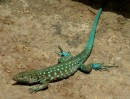 adult male lizard called a blo-blo, different species than other island with more vivid blue colors