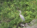 Blue heron in the Swamp