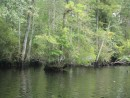 The Dismal Swamp water carves right around the trees.