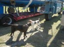 Reagan and Sugar are helping with the loading.