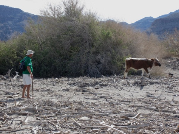Cow on beach just north of Agua Verde