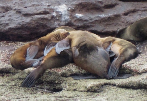 family love - sea lions at Los Islotes