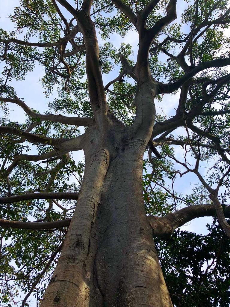 This igante (GIANT) ficus tree seemed to reach its branches to the sky. We