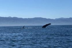 Mama humpback whale teaching baby to wave to the tourists!