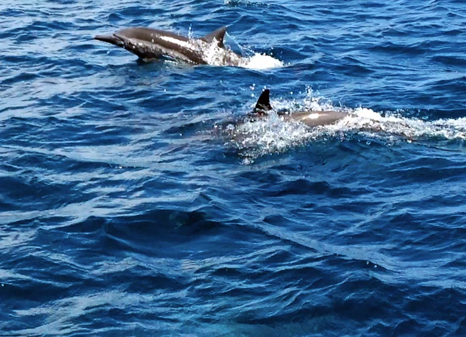 We were treated to 20+ minutes of a pod of 40-50 dolphins riding our bow wake, leaping, diving, and playing with us between Puerto Escondido and Loreto.