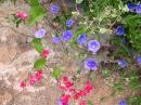 Wild flowers were out in full bloom, including these hot pink coral bush and lavender-colored morning glories...