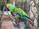 One of two Great Green Macaws...their wings are clipped so they can