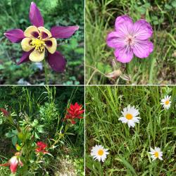 There were SO many gorgeous wildflowers blooming in July (a month late, they normally bloom in June!) Clockwise from top left: columbine, sticky geranium, daisies, and Indian paintbrush.  Phelps Lake Hike, Grand Teton National Park.