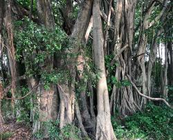 Banyan trees in the jungle...