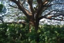 Huge Huanacaxtle tree!