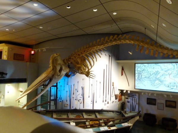 This whale skeleton was a sperm whale that died on the beach in 1991.  They think he had an infection from an impacted tooth.