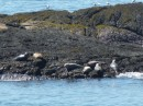 We saw a lot of seals but not everywhere we went. These were Down East seals.