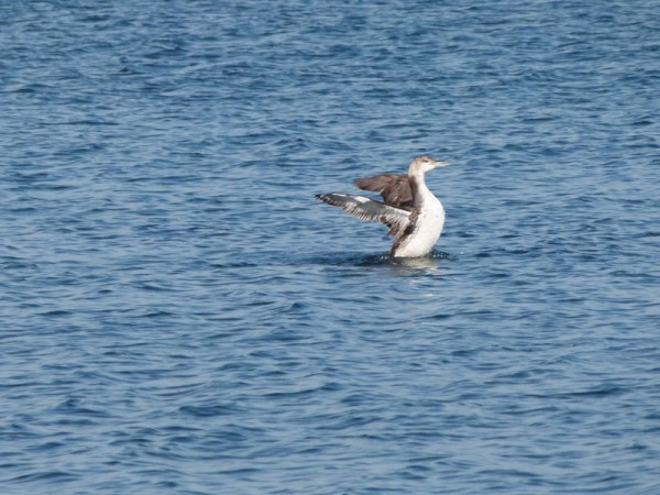 I never did figure out what this bird was but it had a very distinctive manner on the water.