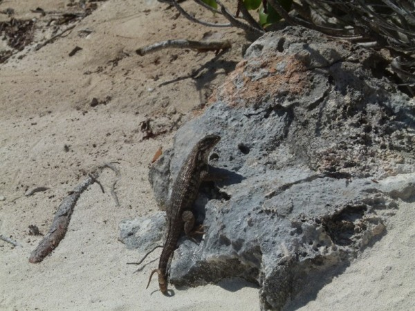 There are lots of other lizards everywhere here.