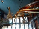 We went to the Whaling Museum.  New Bedford was a major whaling town.  Here are some whale skeletons hanging from the ceiling.